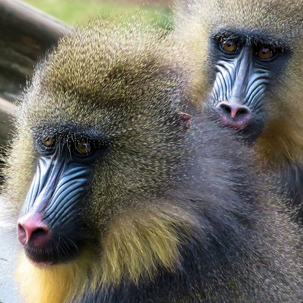 'Mystified Mandrills' by Ian Weatherley of Witham & District (Essex) U3A
