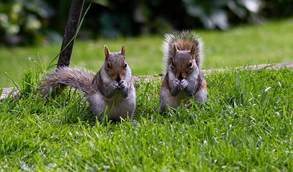 'Squirrels' by Carol Andrews of Haywards Heath U3A